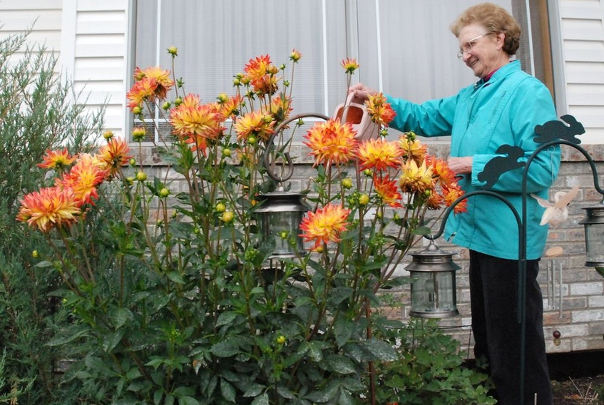These dahlias exceed four feet, the tallest that Agatha Vavrek has seen in more than 30 years of growing the plant.