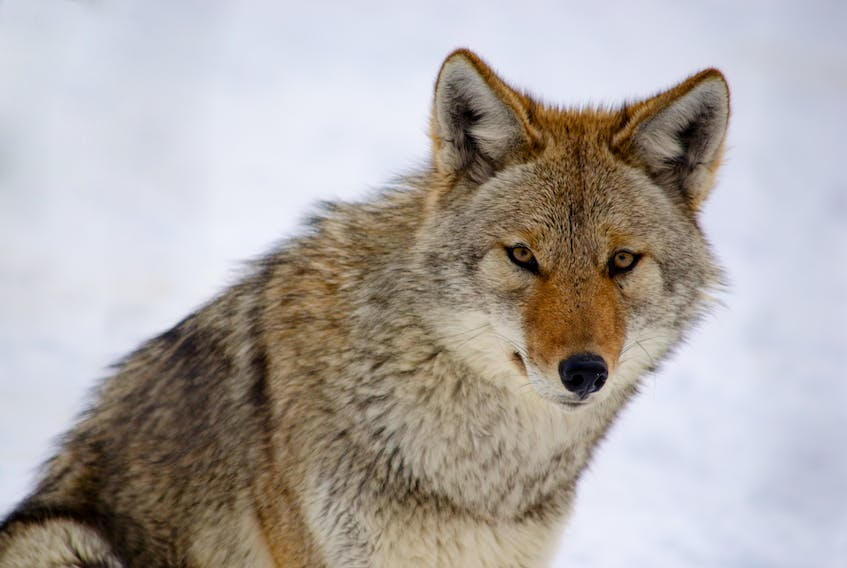 A coyote on a snowy background.
