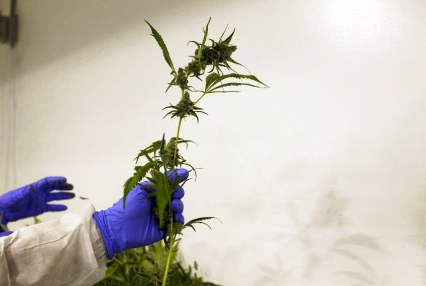 Ontario reportedly plans to open dozens of storefronts across the province to manage the sale and distribution of recreational marijuana after the federal government legalizes its recreational use. Here, production staff harvest marijuana plants inside the flowering room at Harvest One Cannabis Inc. in Duncan, B.C., on Aug. 4.