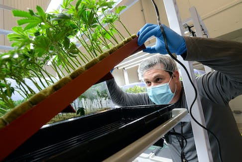 Atlantic Cultivation founder and chief operating officer Chris Crosbie checks for roots developing on cannabis plants grown from recent cuttings of larger ones.