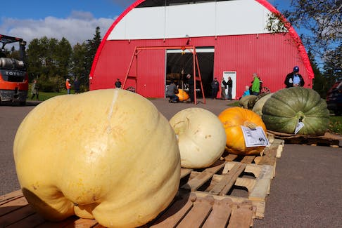 Field pumpkins and giant squash, two of three categories along with giant pumpkins, sit in a line in front of the weighing station at the 28th annual giant pumpkin weigh-off in York, P.E.I.