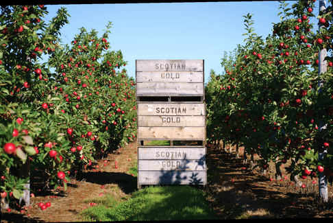 Scotian Gold is able to use NSBI's support to leverage new technology for storing and packing their apples. PHOTO CREDIT: Contributed