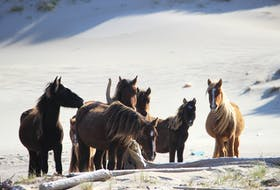 There are about 500 free-roaming horses on Sable Island, about 300 kilometres southeast of Halifax. PETER ZIOBROWSKI