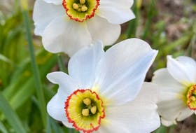 Poet's daffodil is an ancient variety beloved for its pale white flowers and yellow and red center cups.