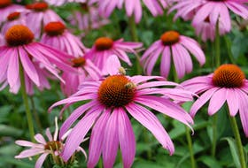 A purple coneflower (echinacea) is indestructible in hot, dry, windy locations.