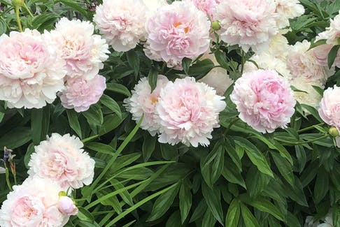 A prize in the garden, peonies can be tricky to successfully split up.    Peonies can be the star of the show in perennial beds or borders. Although they bloomed early, and faded just as early this season, peonies are a must-have for their magnificent bloom and fragrance. Bill Brooks photo