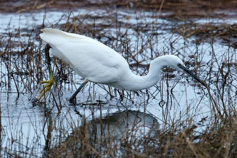 A rare little egret from Europe makes itself at home hunting for sticklebacks in a Kelligrews estuary.