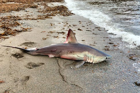 Jason Whiffen of Sydney spotted a fin on the shoreline in Petit Etang while on the job delivering product to local stores in the Cape Breton Highlands on Tuesday. Photos of the shark have been sent to Fisheries and Oceans Canada to confirm the species of the shark. CONTRIBUTED • JASON WHIFFEN