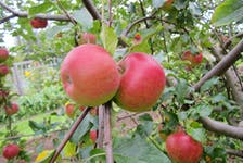 The two main pests that feed on apples are coddling moth and apple maggot.