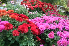 A collection of mums bring some cheer as the garden settles in for the winter. CONTRIBUTED