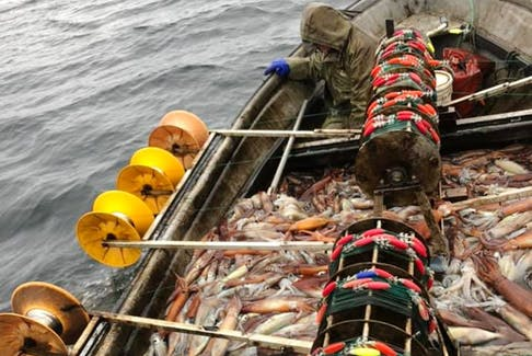 A fisherman reels in squid. This year there's been an abundance of squid in Newfoundland waters.