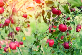 With an abundance of apples this season, there are plenty of opportunities for families to visit u-picks or to pick up some fresh apples to enjoy. - Storyblocks