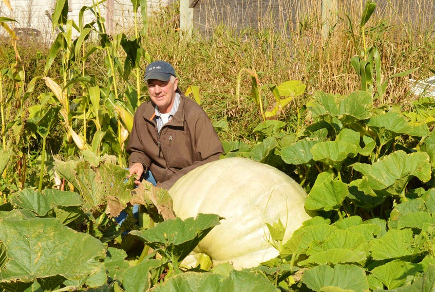Springfield, P.E.I. farmer Gordon Aten, president of the P.E.I. Giant Pumpkin Growers Association, takes a peek at his giant pumpkin in the week before the 28th annual weigh-off in York.