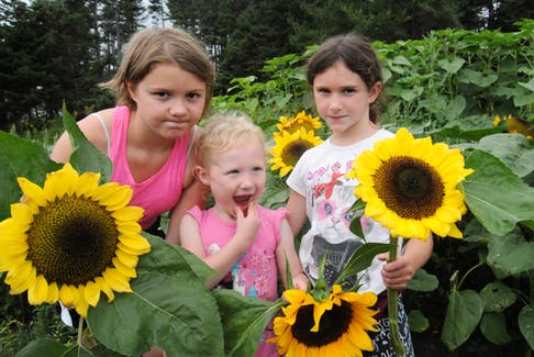 Sisters Heidi Martin, 10, Tessa, 3 and Alexa, 7, of Topsail, N.L., display the sunflowers they selected to take home from the Lester's Farm Chalet petting farm. Agritourism is in its infancy in Newfoundland, where geography plays a factor in getting the public to farms.