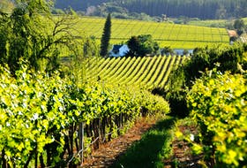 A vineyard in the Franschhoek region of South Africa, where many exiled French Huguenots settled.