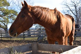 People are often amazed to hear that Bonsai is 37. He's content to munch on hay, keep on the lookout for pheasants approaching his paddock and be in the company of other horses. – Ashley Thompson