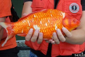 This goldfish was likely let go from an aquarium. Goldfish are overtaking some waterways in the U.S. and Canada. Photo by U.S. Fish and Wildlife Service.