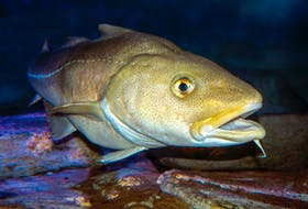 The latest assessment of the northern cod stock in DFO zone 2J3KL shows some improvement in the spawning stock biomass, but the stock is still at a critical level.