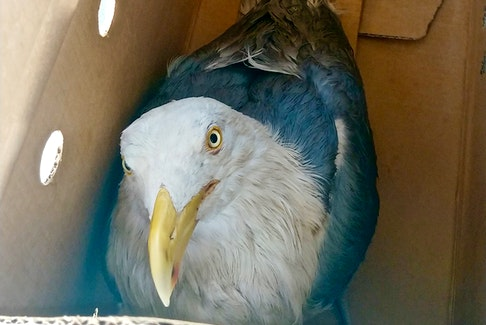 One of three oiled seagulls that veterinarian Kathleen MacAuley caught for transport to Hope for Wildlife where the birds were stabilized before cleaning them.