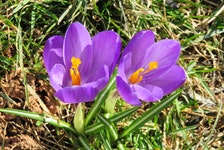 I get spring fever when I spot those lovely crocuses. Michele Lawlor has them popping up on her lawn in Stratford, P.E.I.