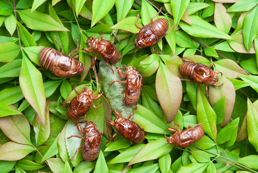 """""""For an insect that only comes up out of the ground to breed every 17 years, cicadas get a lot of attention,"""" Russell Wangersky writes. —"""