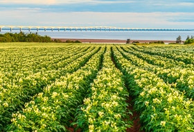 Potatoes grow in a field near the Confederation Bridge in P.E.I.