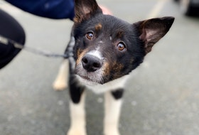 Dyson is one of 77 dogs and puppies that were surrendered to the Nova Scotia SPCA from a Cape Breton home on Monday. The SPCA says it will cost in excess of $70,000 for rehabilitation and medical care for the animals. NOVA SCOTIA SPCA