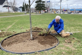 Stephen Grant, a member of the Royal Canadian Legion branch 138, clears the earth around a sugar maple tree at the Ashby cenotaph in Sydney on Monday afternoon. The small, hillside park at Ashby Corner, where Welton and Prince streets intersect with Victoria Road and Whitney Avenue, is a popular sledding area and Grant was helping restore the ground along the tree's base. The tree was planted in 2017 by Highland Landscapes for Lifestyle in Howie Centre as part of a provincewide initiative mounted by Landscape Nova Scotia. Chris Connors • Cape Breton Post