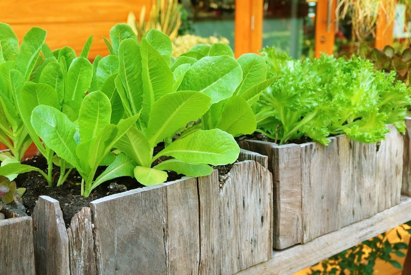 It's easy to grow lettuce and other salad greens in containers.