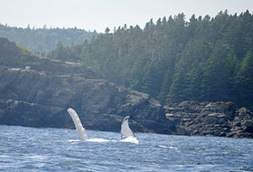 """""""Whales are back in our bays!"""" That's what Marilyn Crotty wrote when she sent this scenic photo of Humpback whales in Dildo, N.L.  """"It was wonderful to see Humpback whales feeding close to shore,"""" she wrote. """"You could hear them slapping their flukes or fins on the water. I never get tired of seeing them. Beautiful creatures."""" Beautiful creatures, indeed. Thank you for the photo, Marilyn."""