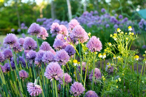 Chives is a hardy, easy to grow perennial herb with onion-flavoured leaves and pretty pink flowers. - Niki Jabbour