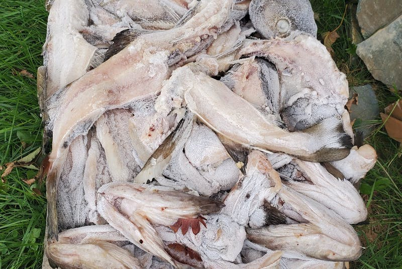 Cod heads, skin and bones usually end up as waste once the filets are removed for the restaurant and retail market. - Contributed