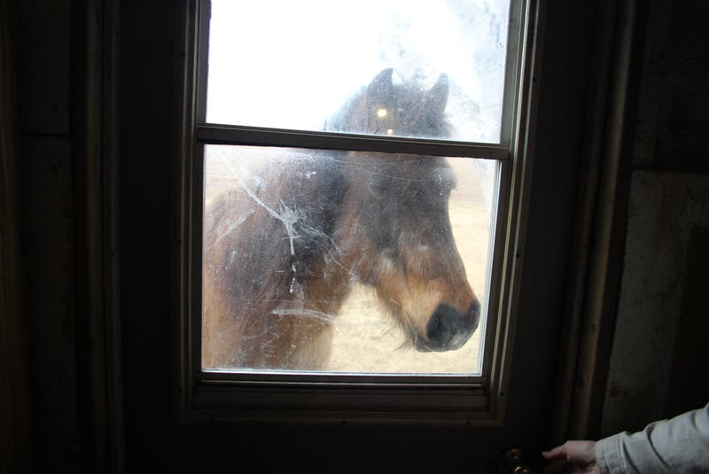 Missy Jean watching her stablemates through a window. The suspected Newfoundland pony is recovering after being in poor health.  - Colin Maclean