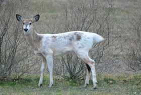 Jennifer Gerrits sent this photo of a piebald doe enjoying the spring greenery in Wolfville, N.S. She said the deer appeared at dusk with two others of normal colour. She would not have noticed them, except that the piebald one stood out in the dim light. Thank you for the photo, Jennifer. Fun fact about piebald deer: piebaldism is a recessive gene, so both parents must carry the trait to have an piebald offspring.