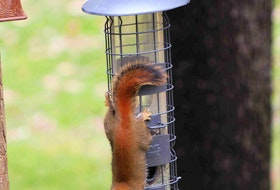"""I couldn't help but laugh when I read Marjorie Zwicker's email with this phototaken in her backyard in Auburndale, N.S.  She wrote: """"This is supposed to be a squirrel buster feeder but this wiley, little furry critter seems to have figured it out! I guess squirrels can outsmart the most intelligent human engineers.""""  Thank you for the hilarious snapshot, Marjorie."""
