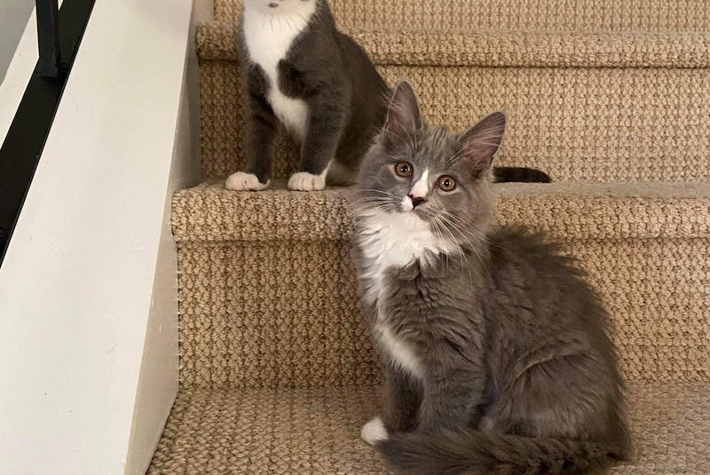 Elmo and Rosita, three-month-old bonded littermates, were rescued by Healing Animal Scars when they were about three or four weeks old. Their mother was a feral cat and they were born outside. - Saltwire network
