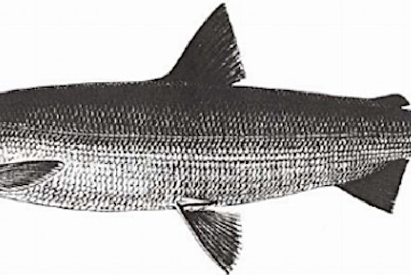 The Atlantic whitefish is one of the most endangered species in the world. - Contributed