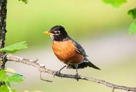 Birdsong, from birds like the red-breasted robin, can be good medicine, just like laughter, Clifton's Gary Saunders says. File photo