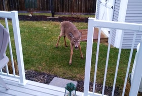 Elaine Warner was in her home in Hantsport, N.S., when something caught her eye outside. Upon investigating, she saw this curious deer by her back deck, with seven or nine others watching from a distance. She says she gets at least a dozen visits daily. Thank you for the photo, Elaine.