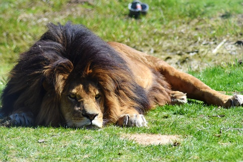 All was quiet and calm as the African lions at Oaklawn Farm Zoo soaked up the sun shortly at lunchtime on April 20. – Ashley Thompson