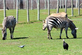 Oaklawn Farm Zoo's well-known zonkey – a cross between a zebra and a donkey – can still be found mostly blending in with the zebras. – Ashley Thompson