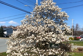 Betty Langille sent this photo of her glorious magnolia tree that she planted 20 years ago at her home in Lancaster Ridge, Dartmouth. She said after the flowers fall off, the tree is left with beautiful, lush green leaves that she loves.  Thank you for this lovely photo, Betty.