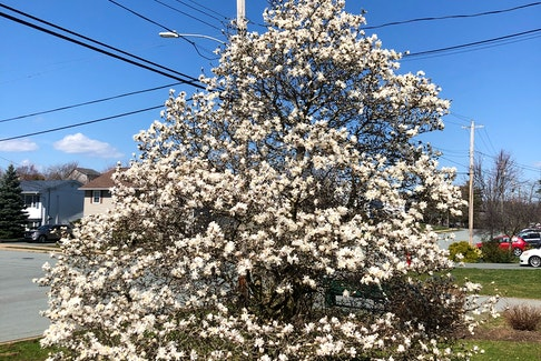 Betty Langille sent this photo of her glorious magnolia tree that she planted 20 years ago at her home in Lancaster Ridge, Dartmouth. She said after the flowers fall off, the tree is left with beautiful, lush green leaves that she loves.