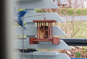 """Monica Fraser sent this adorable and hilarious photo of a chipmunk on her back deck in East Petpeswick, N.S. It seems the chipmunk decided that the best way to get the seeds is from inside the bird feeder. Monica aptly titles the photo, """"Chipmunk finds Smorgasbord."""" Thank you for the photo, Monica."""