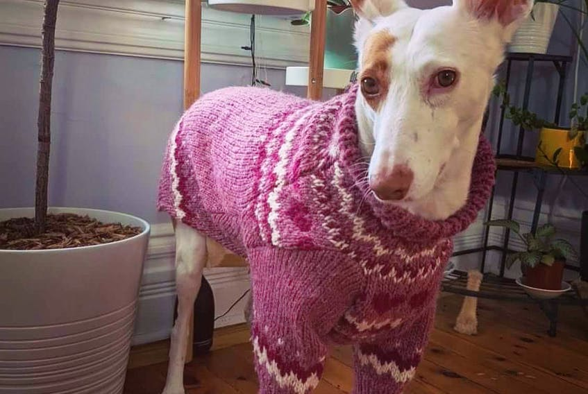This greyhound, Anubis, shows off his new sweater from Hand Me Down Hounds. Kayel Lewis also alters sweaters that customers bring in, or they can choose from her collection of sweaters.