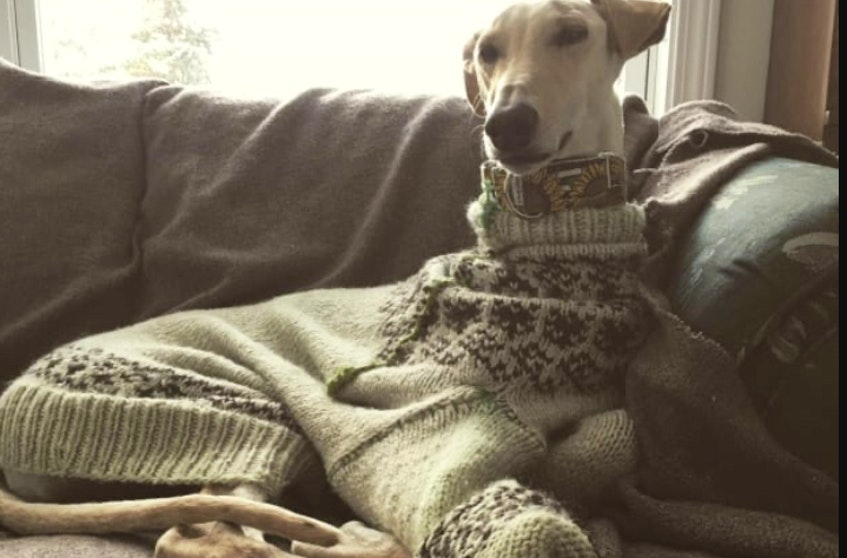 Exi, the Galgos from Spain, is shown in the first ever sweater made by his owner, Kayel Lewis.  - Contributed