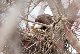 This one-in-a-million shot of an eagle feeding its eaglet was sent by Mike and Madone Bezanson from their back deck in Cape Breton, N.S. They had been watching the nest for the last month and were excited to see the new arrival. They said both parents were very attentive and eager to feed the little eaglet morsels of freshly caught trout.  Thank you so much for sharing this miracle of life with us, Mike and Madone.