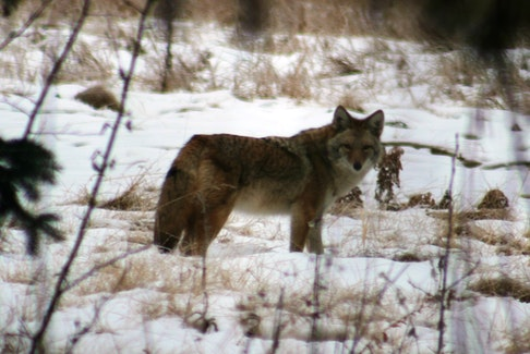 A coyote in the wild. -- Allison Haskell photo