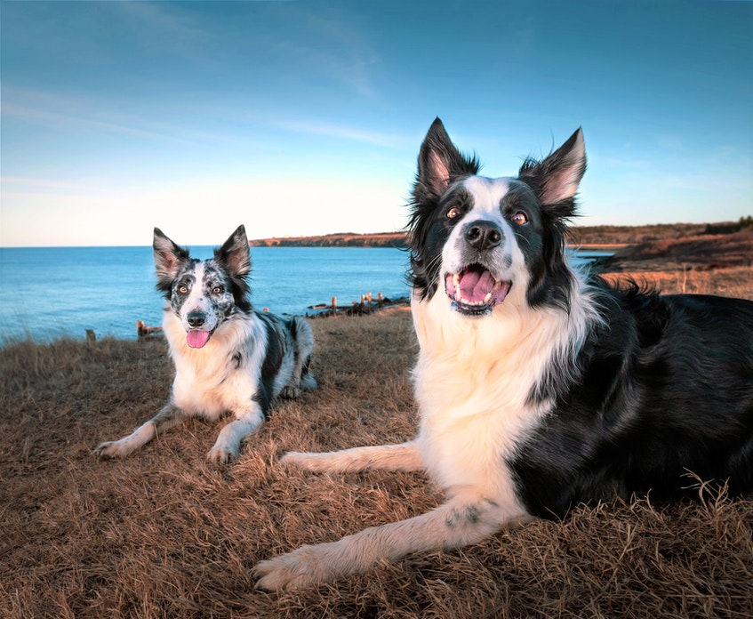A portrait of border collies Molly and Strachen, owned by Jennifer Stapleton of Mira, taken by Shauna Madden of Shauna Madden Photography last week by the New Victoria Lighthouse. Contributed/Shauna Madden