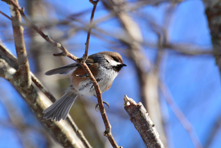 People taking part in Parks Canada's annual Christmas bird count may spy a boreal chickadee. Submitted by Parks Canada
